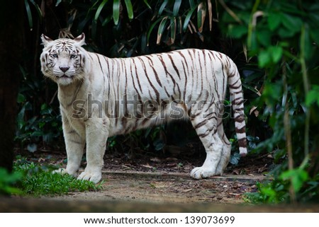 White tiger - albino in the forest undergrowth