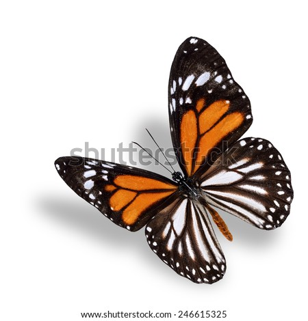 White Tiger butterfly, the beautiful flying orange brown and white butterfly with soft shadow beneath - stock photo