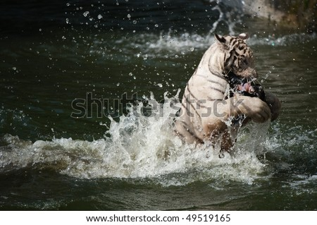 white tiger catching his prey - stock photo