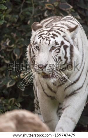 White tiger close up - stock photo