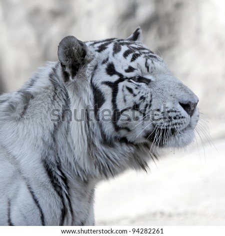 White Tiger. Close up - stock photo