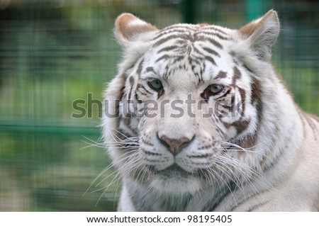 White tiger close-up with ears back - stock photo