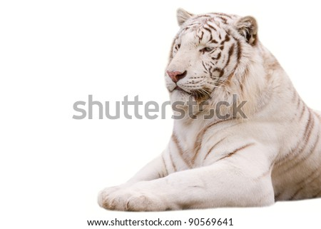 White tiger closeup - isolated on white background - stock photo