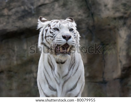 white tiger  - closeup shot - stock photo