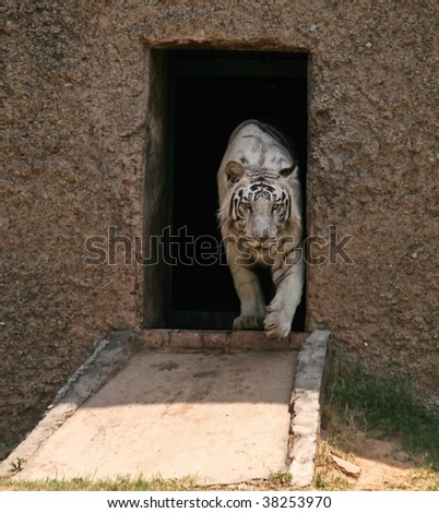 White Tiger coming out - stock photo