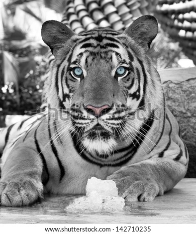 White tiger cooling with ice. - stock photo