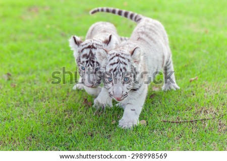 White Tiger cub and two walks on the green grass. - stock photo