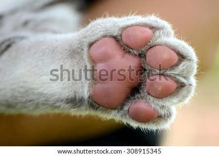 White Tiger cub foot print  - stock photo