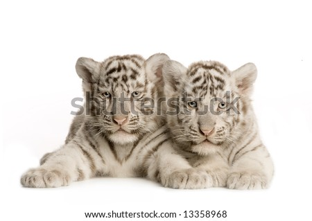 White Tiger cub (2 months) in front of a white background - stock photo