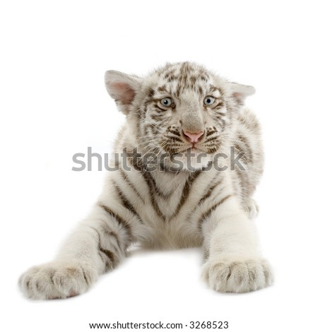 White Tiger cub (3 months) in front of a white background. - stock photo