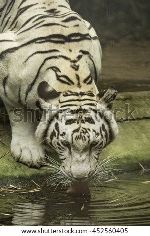 White tiger drinking water in the Zoo of Thailand  - stock photo