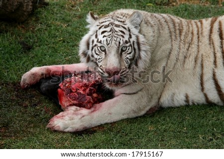 White tiger eating bloody meat and licking lips - stock photo
