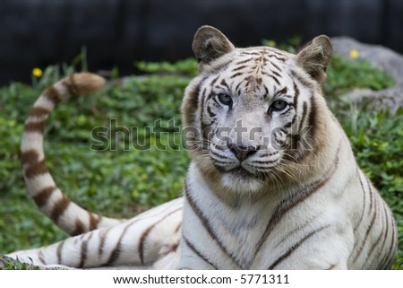 white tiger from india relaxing on the grass - stock photo