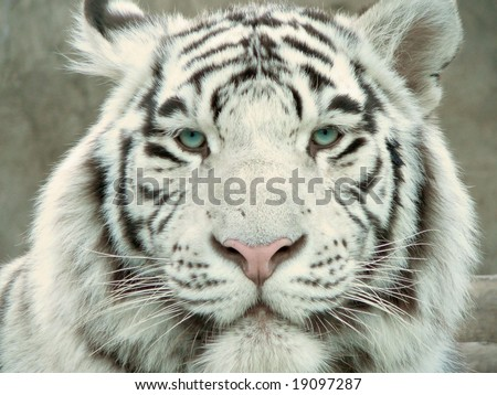 white tiger full face portrait - stock photo