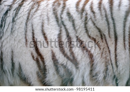 White tiger fur close-up - stock photo