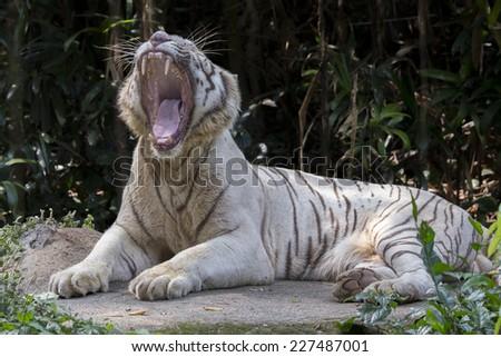 white tiger growling  - stock photo