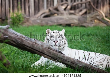 white tiger in an open cage at the zoo - stock photo