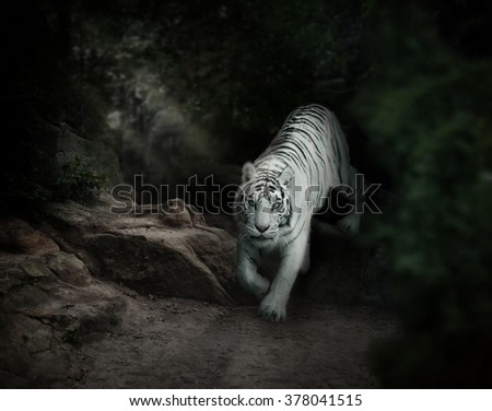 white tiger in forest is sneaking from darkness - stock photo