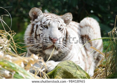White tiger in sunlight with long whiskers - stock photo