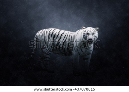 White tiger in the rains.