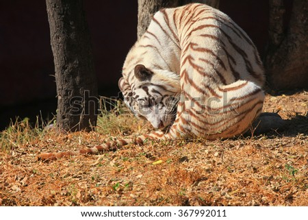 White tiger in the safari - stock photo