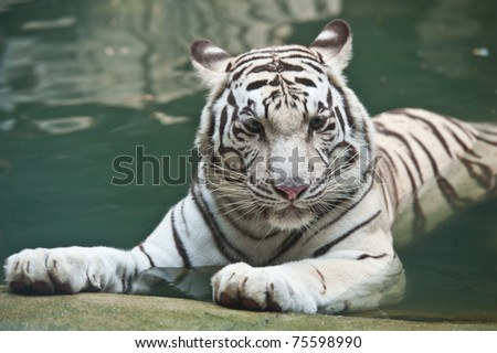 White tiger in water - stock photo