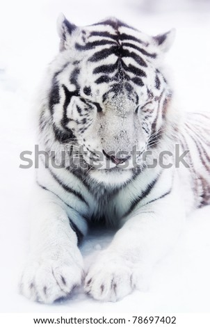 White tiger in winter - stock photo