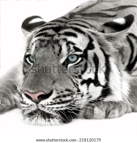 White tiger isolated on white background - stock photo