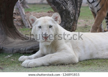 White tiger look for you - stock photo