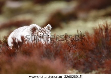 white tiger lying in wait for prey - stock photo