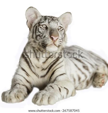 white tiger on a white background. - stock photo