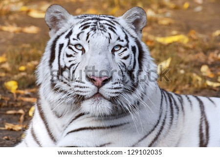 White tiger on autumn background - stock photo