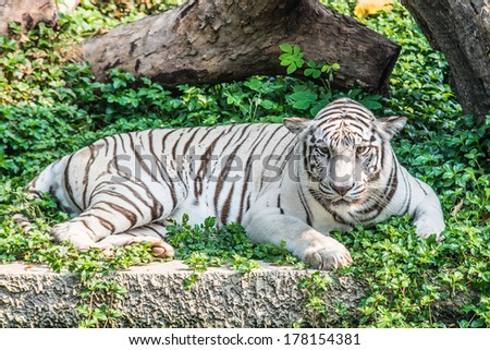 white tiger on grass