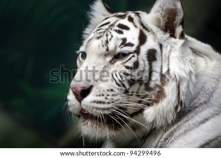White Tiger on the green foliage background. Close up - stock photo