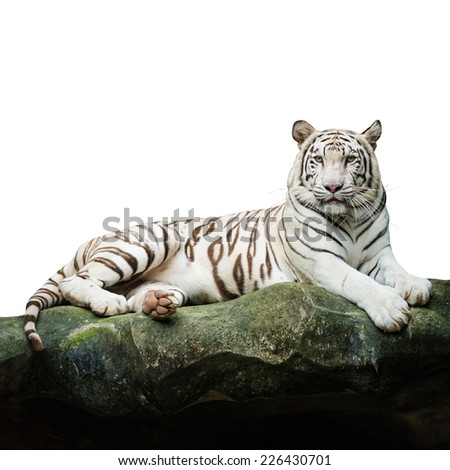 white tiger on white with clipping path - stock photo