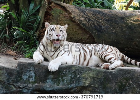 White tiger opening its mouth staring at the far side - stock photo