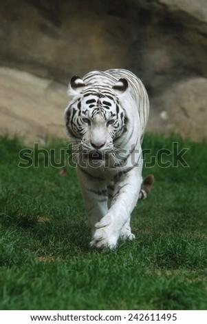 White tiger (Panthera tigris tigris).  - stock photo