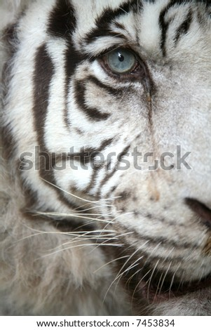 White tiger (Panthera tigris tigris) eye - stock photo