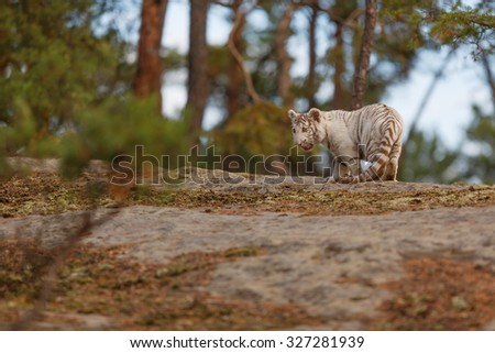 white tiger passes on the horizon  - stock photo