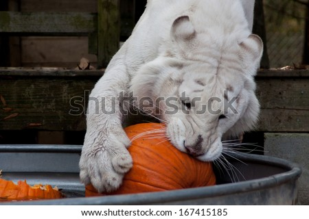 white tiger playing with pumpkin