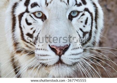 White tiger portrait - stock photo