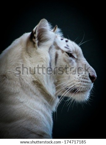 White Tiger Profile - stock photo
