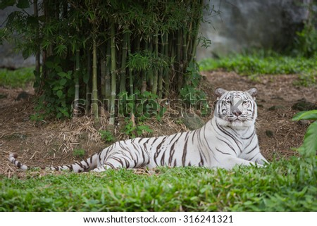 White tiger relaxing in zoo - stock photo
