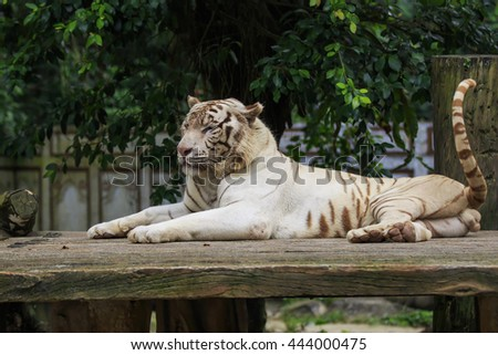 White tiger resting on a rock, looking sideways