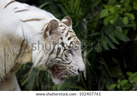 White tiger roaring in a tropical forest
