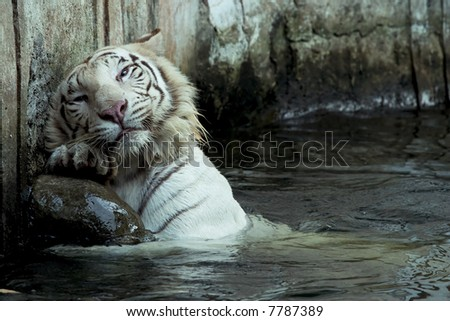 white tiger scratching his back on the wall - stock photo