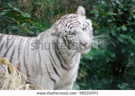 White tiger shaking its head
