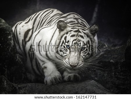 white tiger sit and on the rock - stock photo
