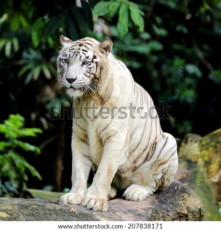 White Tiger Sitting Down Taking a Rest - stock photo