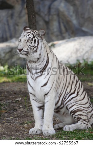 white tiger sitting in an open field. - stock photo